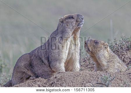 Cute Furry Marmots