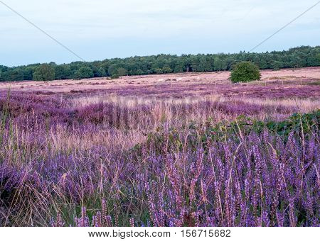 Field of purple blooming heather at sunset in Dutch landscape