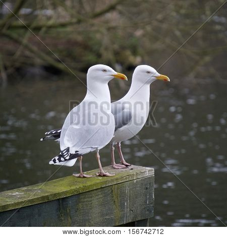 Couple of sea Gulls relaxing and taking in the scenery