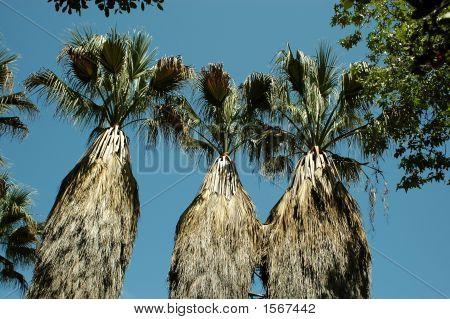 Palm Tree Tops 149