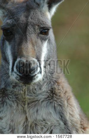Kangaroo Portait
