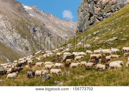 flock of alpine sheep grazing on steep  slope in Austrian Alps
