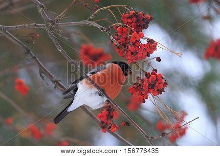 bullfinch sitting on mountain ash berries, red bird, wood, winter