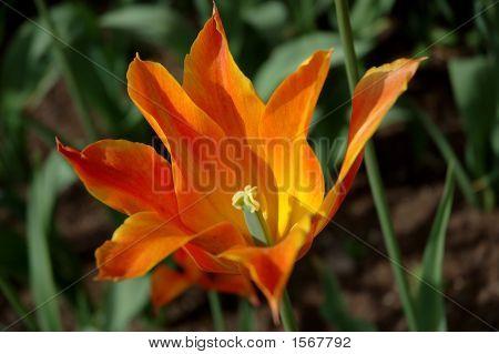Ballerina Tulip