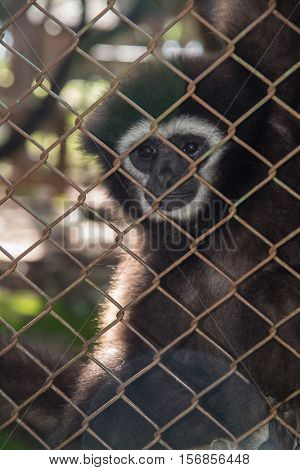 Gibbon monkey unhappy in the cage,Black monkey in cage