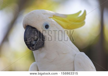 Yellow-crested white cockatoo parrot in nature surrounding, Bali, Indonesia