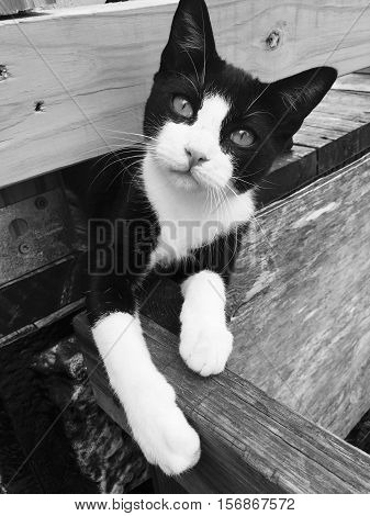 Our cat oreo portrait outside on the porch in black and white