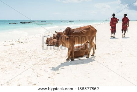 ZANZIBAR, TANZANIYA- JULY 18: tresting african cows and walking people on beach with boats in ocean on the background on July 18, 2016 in Zanzibar