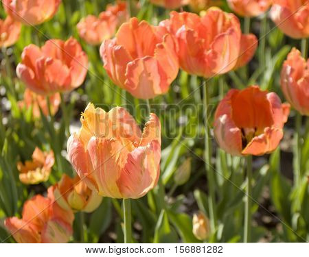 Few red tulips on flower bed closely