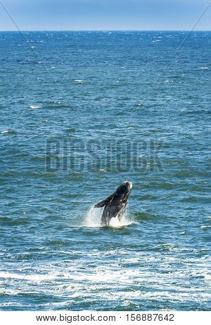 Southern Right Whale breaching from out of the ocean