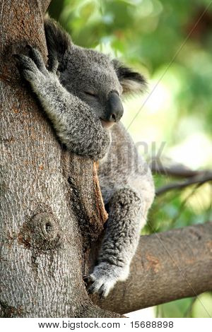Koala Bear sleeping in a tree
