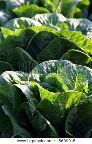 Green leaf lettuce close-up