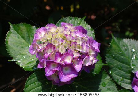 Flowering purple hydrangea flower blossom budding and blooming.