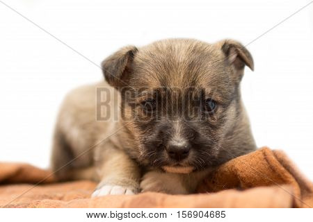 Small purebred puppy lying on the bedspread.