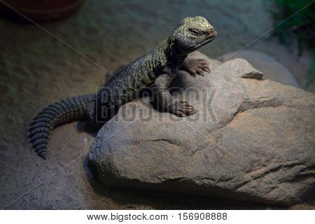North African mastigure (Uromastyx acanthinura), also known as the Bell's dabb lizard. Wildlife animal.
