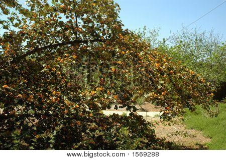 Fremontadendron Tree