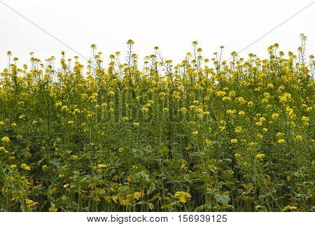 Yellow rape on field. Horizontal line of plants with white cloudy sky