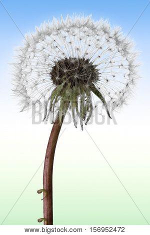 Dandelion close-up image on white background