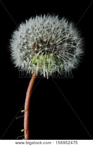 Dandelion and one seed on top with black background