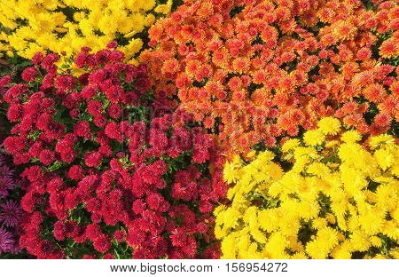 Colorful Autumn Mums or Chrysanthemums for flower background