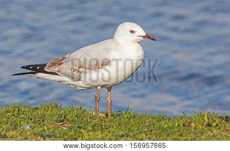 A juvenile silver gull (Chroicocephalus novaehollandiae) beside the water at Lake Monger in Perth, Western Australia.