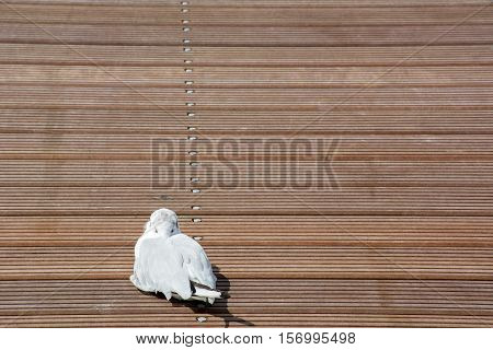 White gull is sleeping on the brown wooden pier