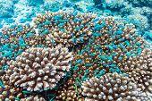 School Of Blue Fish Near Acropora Coral, Maldives poster