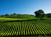 picture of shiraz  - Beautiful Vineyard Landscape with large gum tree - JPG