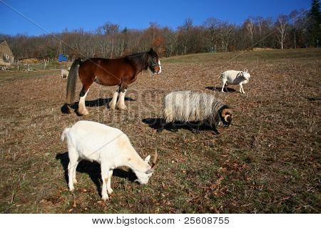 farm family, horse, ram and goats