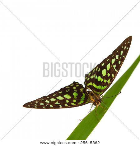 Graphium on green grass isolated
