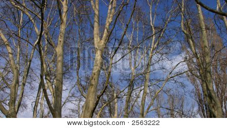 Bare Trees In Fall