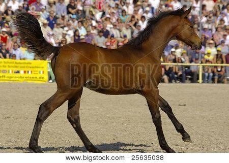 Marbach Stallion Parade, Germany