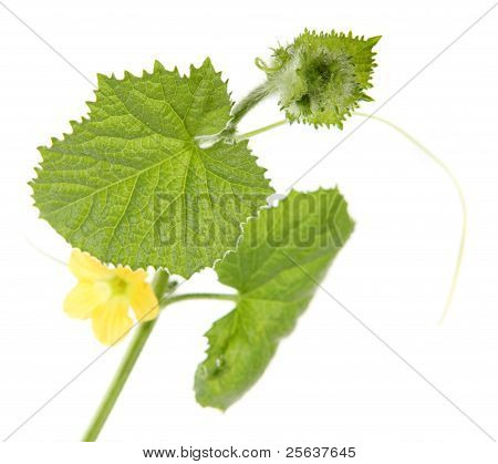 Green Sprout Melon (cucumis Melo)