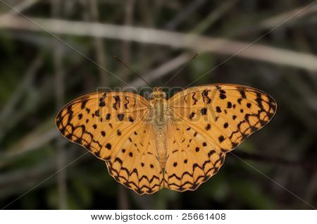 Common Leopard butterfly perching with wings open