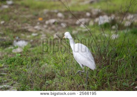 Egret Walking In The Filed