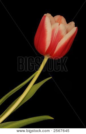 Pink Flower On Black