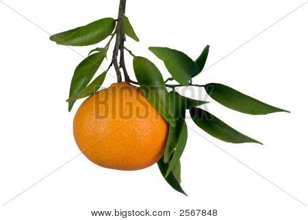 Tangerine On Tree