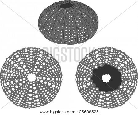 Sea urchin vector