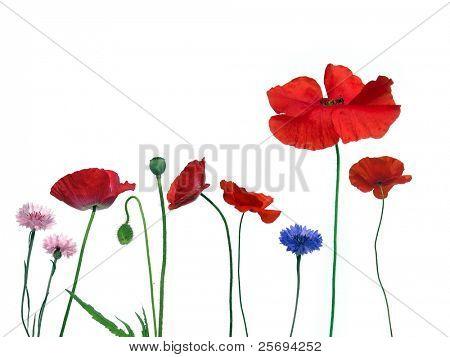 Poppy's in white background
