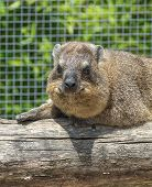 The Rock Hyrax Procavia Capensis, Also Called Rock Badger, Rock Rabbit, And Cape Hyrax Stands On A S poster