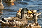 A Female Mallard Duck Quacking At A Nearby Drake poster