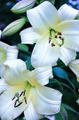 A Beautiful Inflorescence Of Large White Lilies On A Green Background In The Open Air, Large Flowers poster