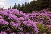 View On Rhododendron Blossom At The Vee, Ireland poster
