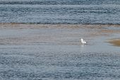 Alone White Seagull Is Standing On Shallows In Sea poster