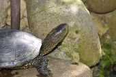 European Pond Turtle (emys Orbicularis) Or European Pond Terrapin poster