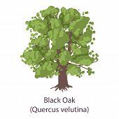 Black Oak Icon. Flat Illustration Of Black Oak Icon For Web poster
