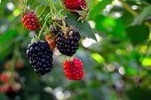 Ripe Summer Blackberries, Berry Black Blackberry Food Fruit Garden Healthy Ripe Sweet  poster