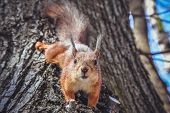 Squirrel On Tree. Closeup Of Cute Grey And Red Squirrel Eating Nut (sciurus Vulgaris). Curious Squir poster