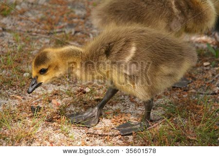 Baby Goose Forages for Food
