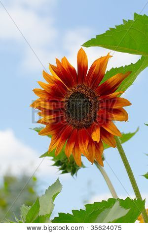 Beatiful Sunflower